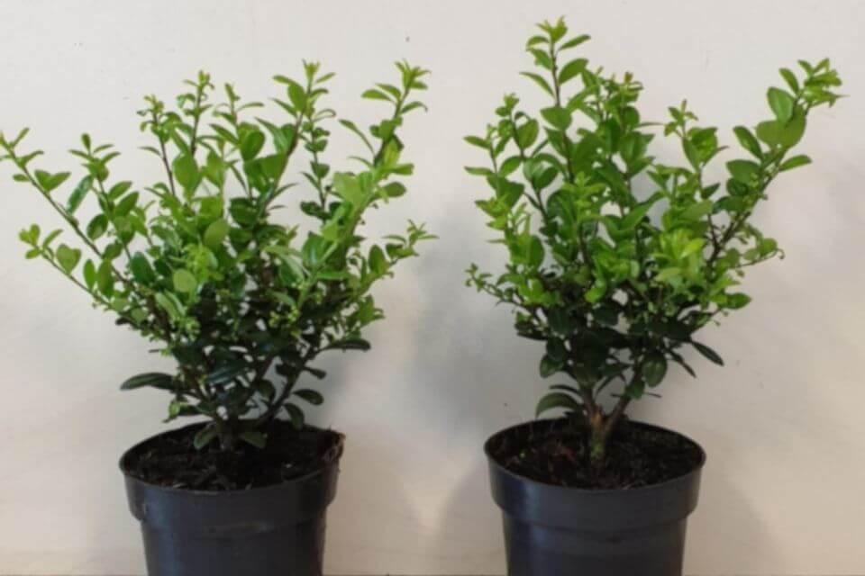 Japanse hulst 'Caroline Upright' plant