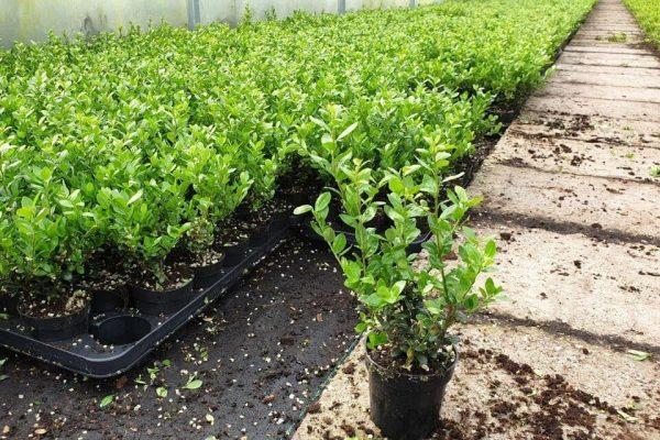 Japanse hulst 'Caroline Upright' planten bij kwekerij