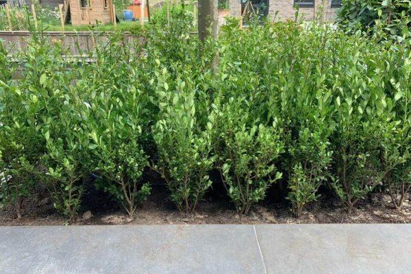 Nieuwe Caroline Upright planten als blok