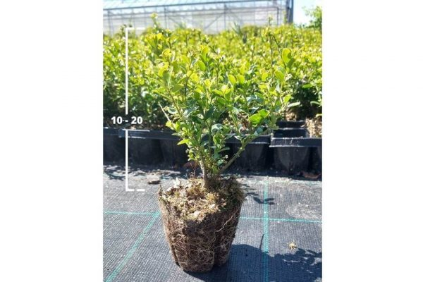 Japanse hulst Green Hedge van 10/20 cm