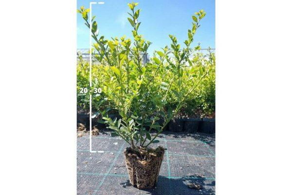 Japanse hulst Green Hedge van 20/30 cm