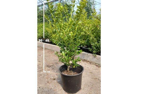 Japanse hulst Green Hedge van 30/40 cm