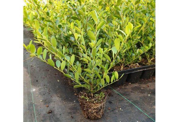 Losse Japanse hulst 'Green Hedge' plant