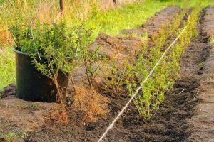 Hoeveel Japanse hulst per meter planten