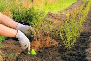 Japanse hulst worden geplant