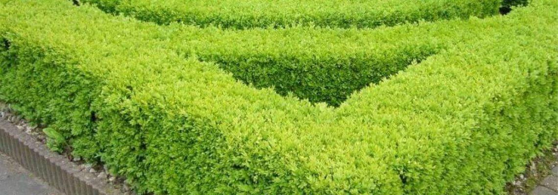 Japanse hulst 'Green Hedge' haag