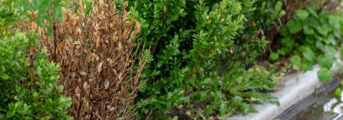 Japanse hulst als buxus vervanger door ziekte van buxusmot